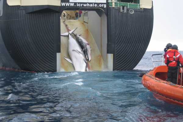 Japanese pullout marks return to whaling